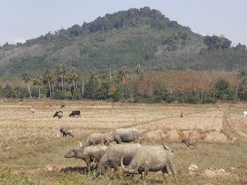 Les rizières de la côte Ouest